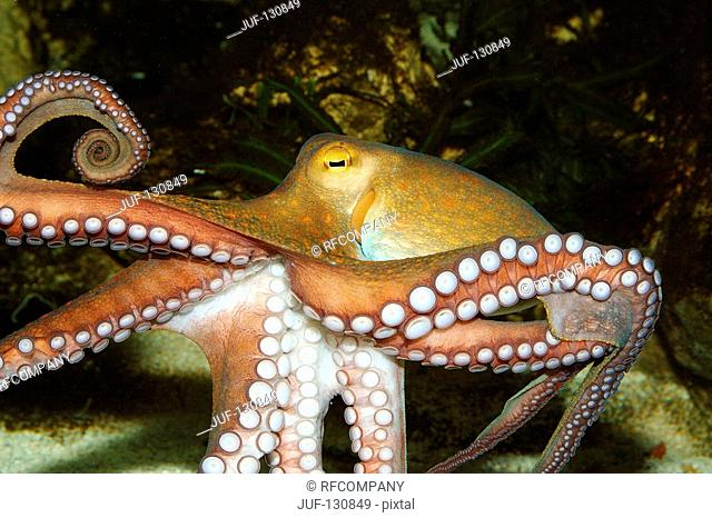 common octopus / Octopus vulgaris