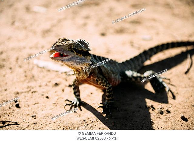 Australia, Queensland, Brisbane, portrait of Iguana with open mouth