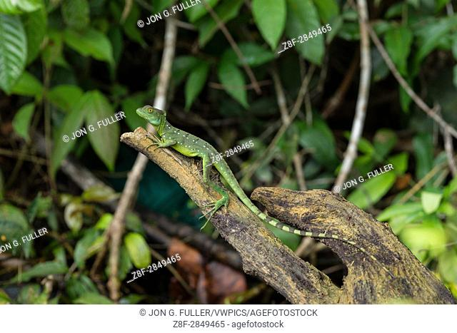 Plumed Basilisk, Green Basilisk, Double Crested Basilisk, Basiliscus plumifrons