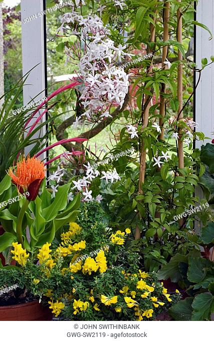 PORCH DISPLAY WITH JASMINUM POLYANTHUM MANY FLOWERED JASMINE BILLBERGIA NUTANS QUEEN'S TEARS SCADOXUS AFF. PUNICEUS GENISTA X SPACHIANA CANARY ISLAND BROOM