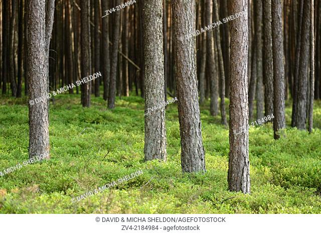 Lanscape of a Scots pine (Pinus sylvestris) forest in spring