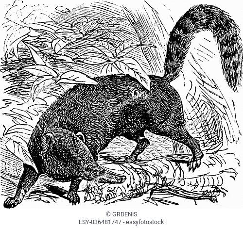 Ring-tailed Coati or South American Coati or Nasua nasua, vintage engraving. Old engraved illustration of a Ring-tailed Coati