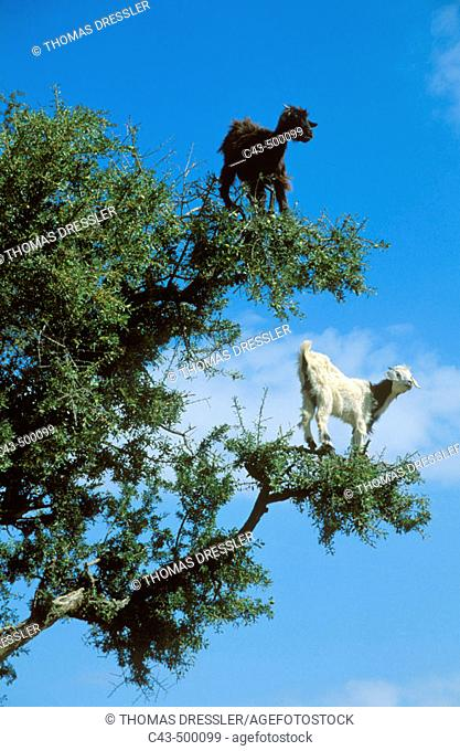 The Argan trees (Argania spinosa) at the foothills of the Anti-Atlas mountains often are climbered by goats which feed on the olive-like fruits and the leaves