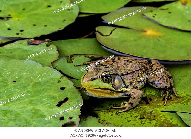 Green Frog (Rana clamitans) at rest on lily pad leaves on Horseshoe Lake in Muskoka near Rosseau, Ontario, Canada