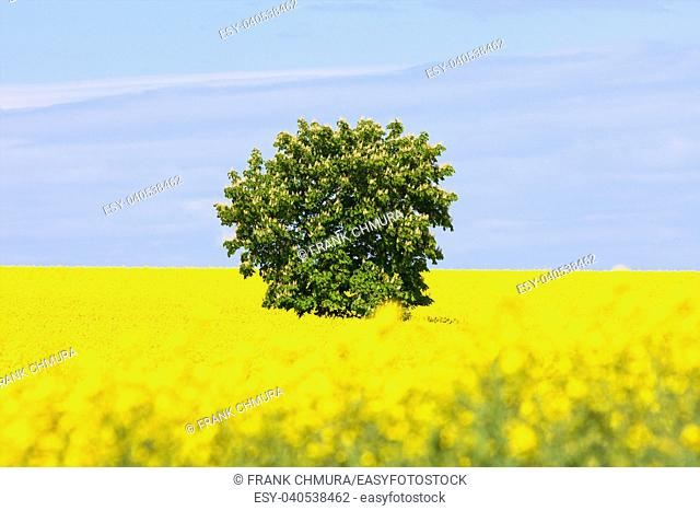 Czech Republic, Southern Bohemia - Lone tree in a Field of Rape in Spring