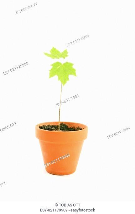 Blumentopf mit Ahornbaum