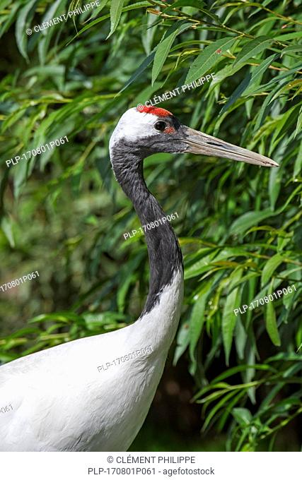 Red-crowned crane / Japanese crane / Manchurian crane (Grus japonensis) native to Siberia and northeastern China