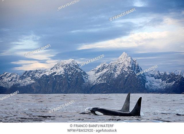 Pair of Killer Whales, Orcinus orca, Solvaer, Vestfjord, Lofoten, Norway
