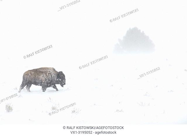 American Bison (Bison bison) in harsh winter weather conditions, blizzard, walking through blowing snow, Yellowstone NP, Wyoming, USA.
