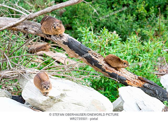 South Africa, Eastern Cape, Western District, Garden Route, Otter Trail, A group of cliff shrews, The cliff shrew or clipped roof (Procavia capensis) is a...