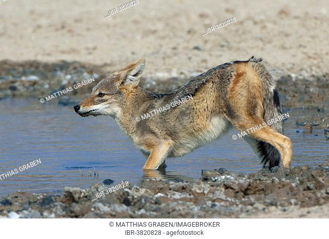 Black-backed jackal (Canis mesomelas) drinking at a waterhole, Kgalagadi Transfrontier Park, Northern Cape, South Africa