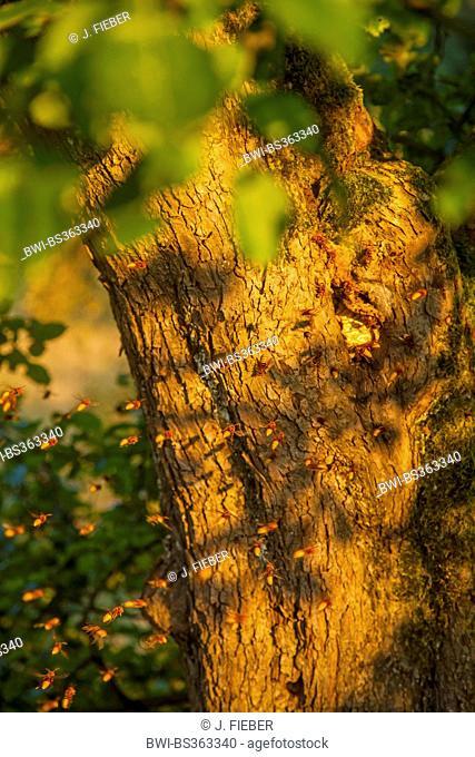 hornet, brown hornet, European hornet (Vespa crabro), hornet nest in a knothole of an apple tree, Germany, Rhineland-Palatinate