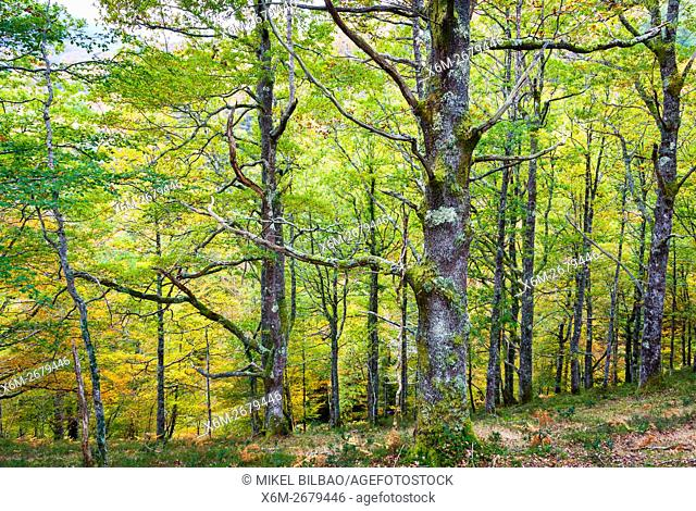 Beechwood. Saja-Besaya Natural Park. Cabuerniga valley. Cantabria, Spain