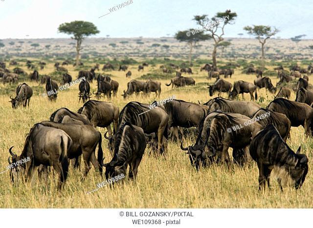 Herd of Wildebeest - Masai Mara National Reserve, Kenya