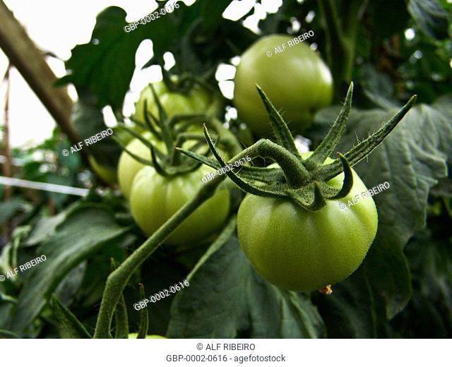 Tomatoes produced, greenhouse, farm Ituaú, Salto, São Paulo, Brazil