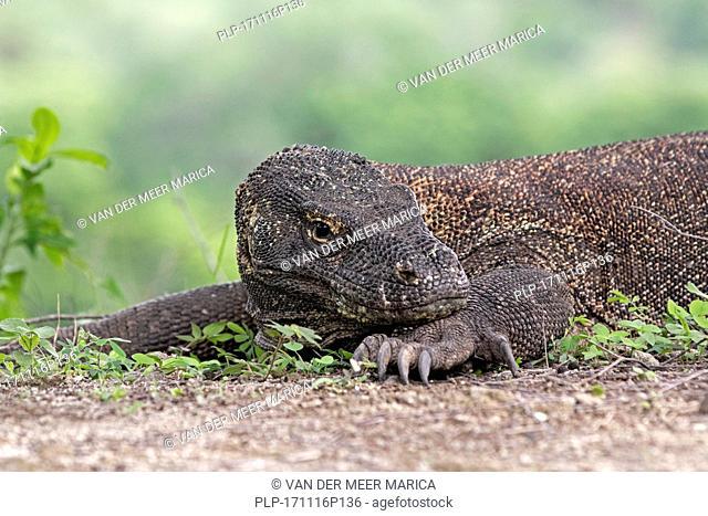 Komodo dragon / Komodo monitor (Varanus komodoensis) of the Indonesian islands Komodo, Padar and Rinca in the Komodo National Park, Indonesia