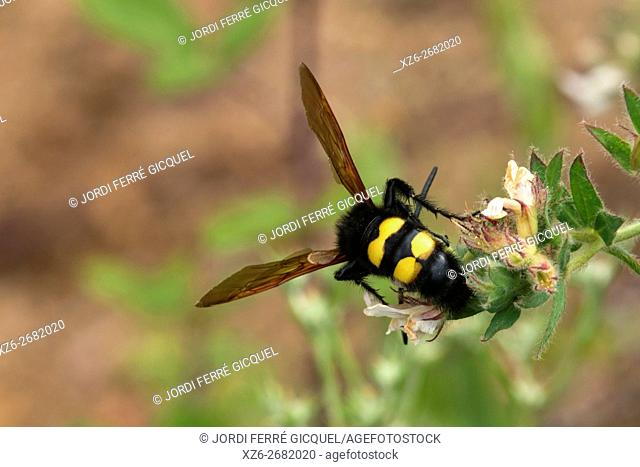 A male of mammoth wasp, Megascolia maculata flavifrons, the largest wasp in Europe, Tossa de Mar, Catalonia, Spain