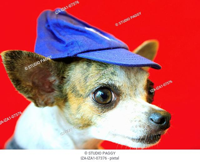 Close-up of a Chihuahua puppy wearing a cap