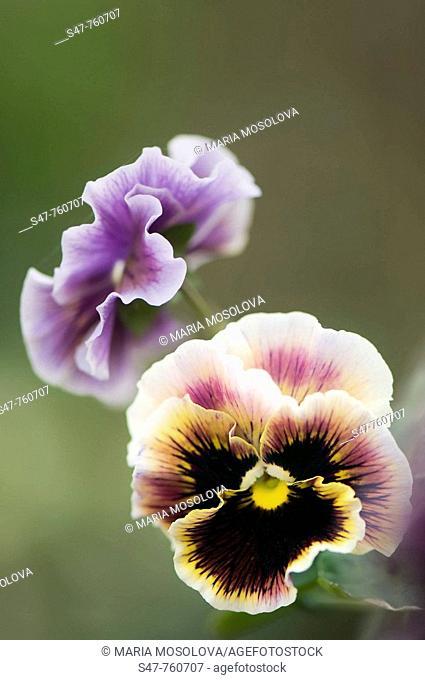Pansy Flowers. Viola x wittrockiana. April 2008, Maryland, USA