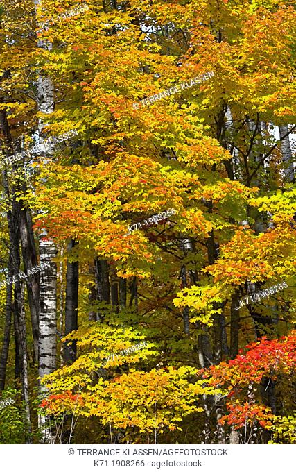 Fall foliage color in the deciduous forests of northern Minnesota, USA