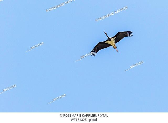 A flying black stork in southern Saarpfalz-Kreis/Germany