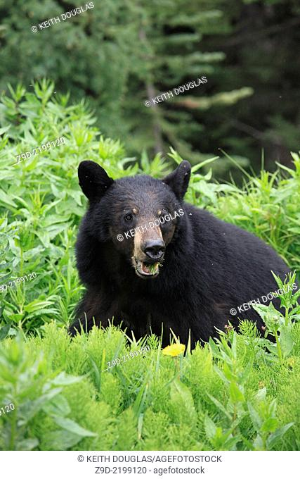 Black bear, Hudson Bay mountain, Smithers, British Columbia