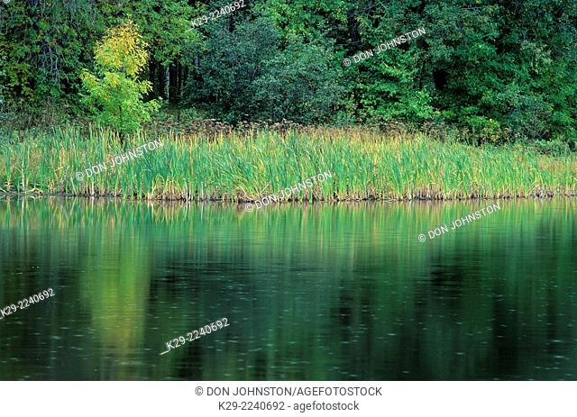 Cattails and single small maple reflected in the Vermilion River, Greater Sudbury, Ontario, Canada