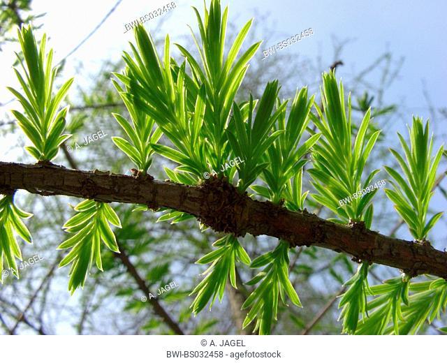 baldcypress (Taxodium distichum), living fossil, leaf shoots in backlight