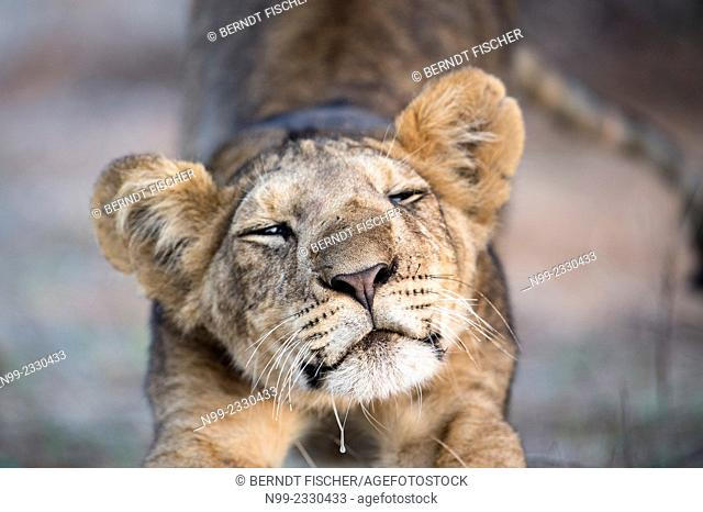 Lion (Panthera leo), stretching cub, Samburu National Reserve, Kenya