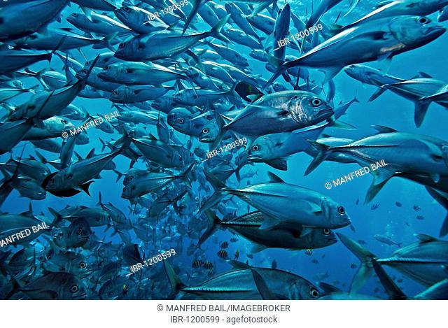 At the wreck of the Liberty, a swarm of jacks (Carangidae), Tulamben, Bali, Indonesia, Southeast Asia