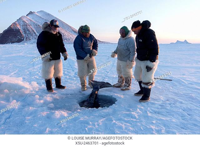 Group of Inuit or Inughiut hunters from Qaanaaq, Greenland at the floe edge in Hvalsund, near Herbert island. Pulling out Greenland shark which has been caught...