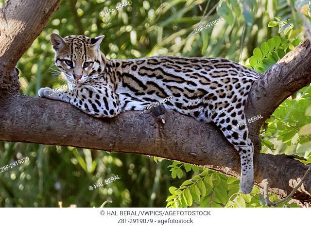 Ocelot (Leopardus pardalis) Pantanal, Brazil