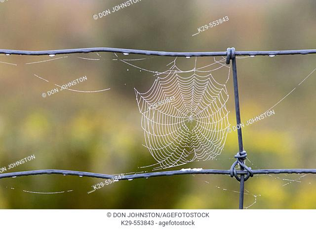 Dewy spider web on fence wire. Lively, Ontario, Canada