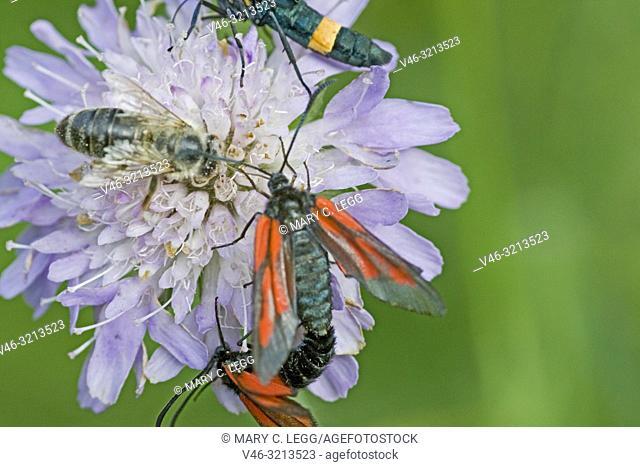Minos Burnet, Zygaena minos. Burnet moth with red markings. Wingspan: 33-37mm. Flies June-July. Originally named after host plant Pimpinella saxifraga