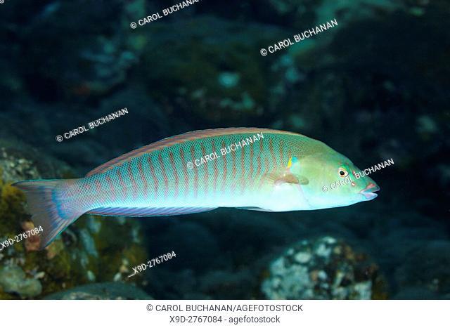 Pastel Ring Wrasse, Hologymnosus doliatus. Intermediate colour phase. Tulamben, Bali, Indonesia. Bali Sea, Indian Ocean