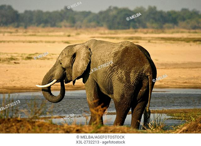 Elephant, Loxodonta africana. Mana Pools National Park. Zambezi river. Zimbabwe
