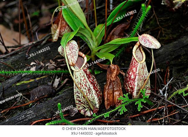Pitcher Plant, Nepenthes Rafflesiana, Borneo