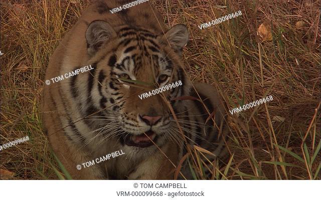 Siberian tiger Panthera tigris altaica ready to pounce - captive animal. Northern Montana, USA