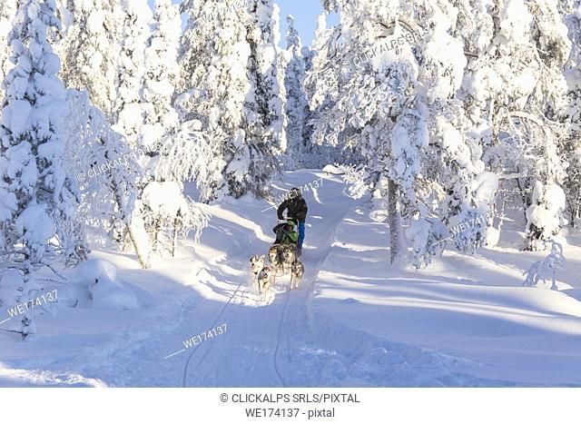 Dog sledding in the snowy woods, Kuusamo, Northern Ostrobothnia region, Lapland, Finland