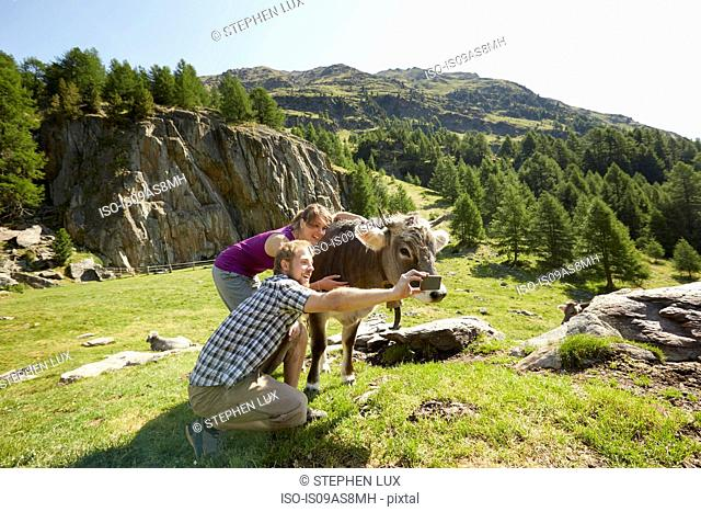 Young couple taking smartphone selfie with cow, Val Senales, South Tyrol, Italy