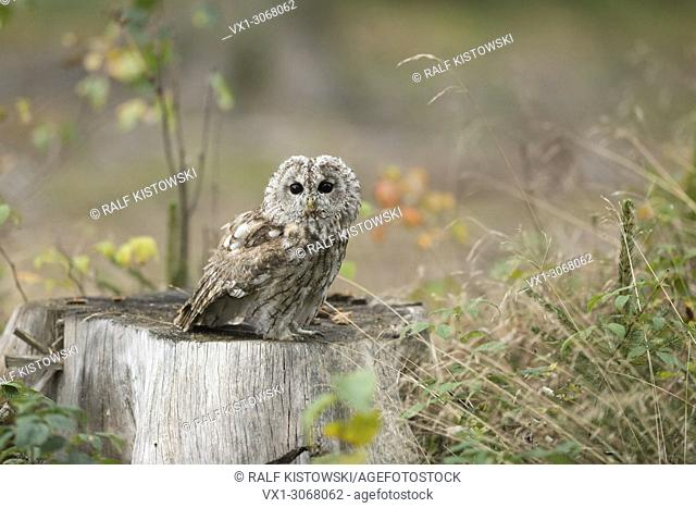 Tawny Owl ( Strix aluco ) sitting / perched on a tree stump in natural environment of a clearing, Europe