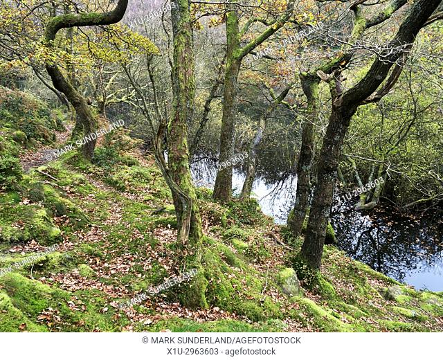 Autumn Trees by Guisecliff Tarn in Guisecliff Wood near Pateley Bridge Yorkshire England