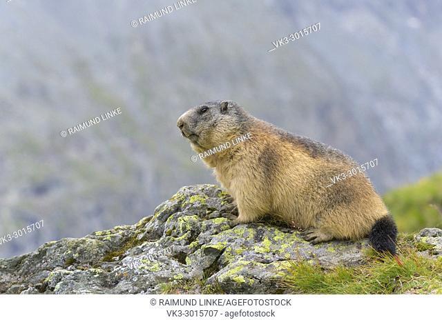 Alpine Marmot, Marmota marmota, Hohe Tauern National park, Austria