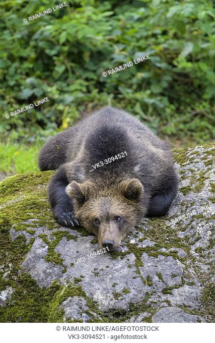 European Brown Bears, Ursus arctos, Cub lying on rock, Bavaria, Germany