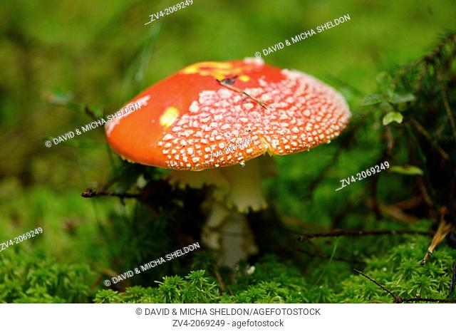 Close up of a fly agaric or fly amanita (Amanita muscaria) mushroom in autumn