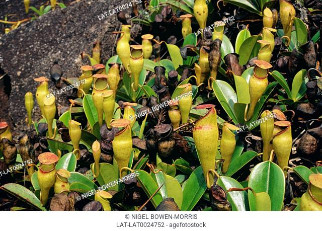 Nepenthes pervillei is a tropical pitcher plant endemic to the Seychelles. They are carnivorous plants whose prey-trapping mechanism features a deep cavity...