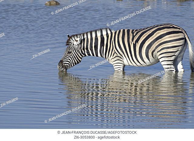 Burchell's zebra (Equus quagga burchellii), standing in water, drinking, Okaukuejo waterhole, Etosha National Park, Namibia, Africa