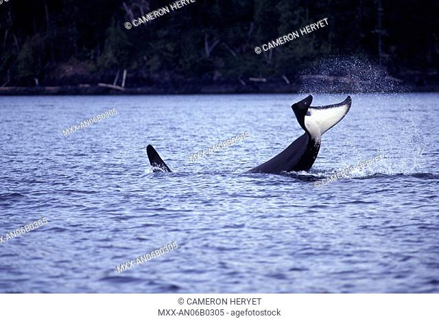 Orca, Killer Whales, Johnstone Straight, British Columbia, Canada