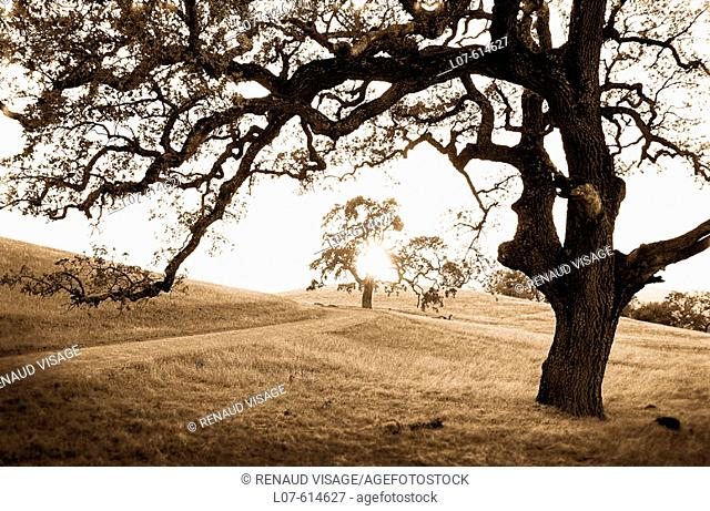 Oak trees at sunset. Morgan Territory Regional Park. California. USA