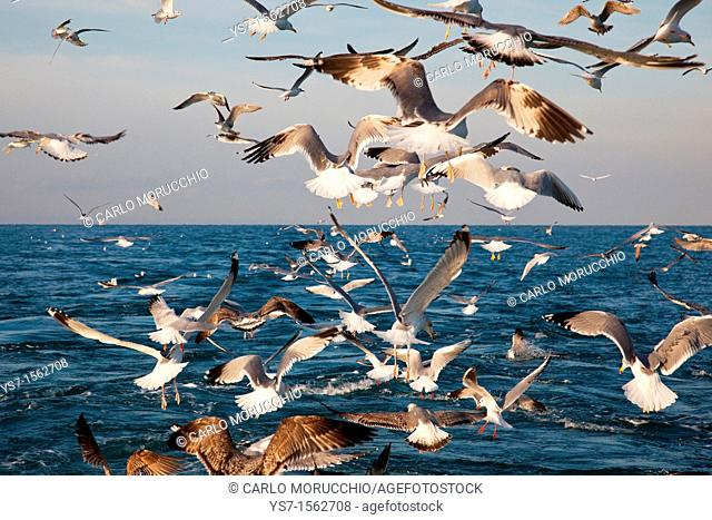 Sea gulls following a trawler in the north Adriatic sea and waiting for discarded fish, Chioggia, Venice province, Italy, Europe